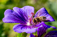 Foraging Bee on Meadow Cranesbill