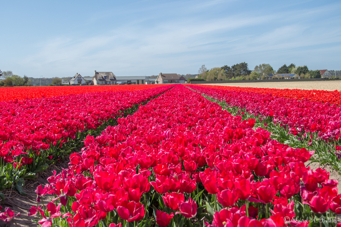 Flowers of Holland